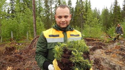Шесть тысяч саженцев сосны теперь растут на холмогорской земле