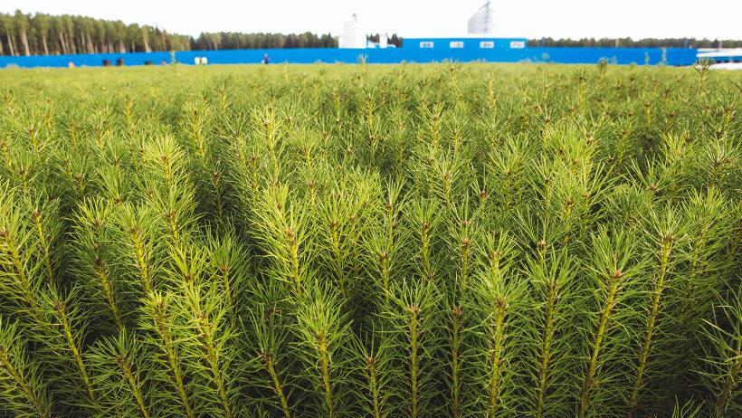 Сеянцы сосны. Фото ИД «Двина»