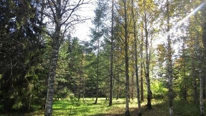 Удивительно красивы пятидесятилетняя плакучая польская лиственница, североамериканские сосны, стройные тянь-шаньские ели