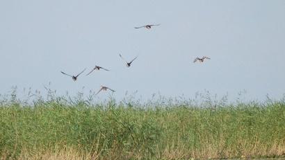 На материковой части региона каждый охотник имеет право добыть не более десяти гусей, пяти селезней и десяти вальдшнепов
