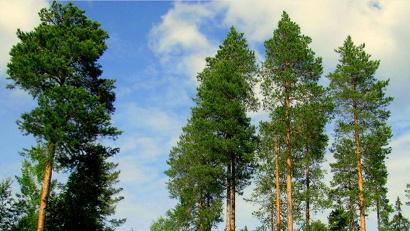 При лесном планировании Архангельская область предлагает сделать акцент на экономической составляющей