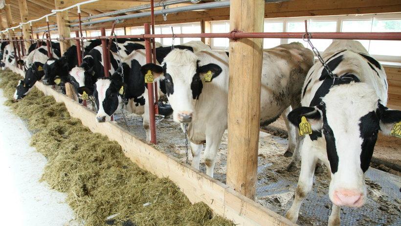 С вводом в строй фермы производство молока в Мелединской вырастет более чем на 1 000 тонн и составит 2 850 тонн в год
