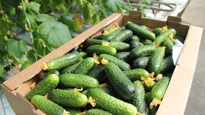 Первый урожай огурцов поступит на прилавки магазинов Северодвинска