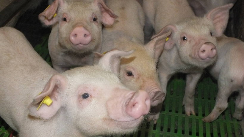 К концу 2016 года в хозяйстве будет две с половиной тысячи свиней