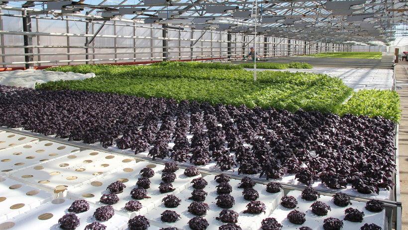 На Северодвинском агрокомбинате практически круглый год выращивают огурцы, томаты и зелень