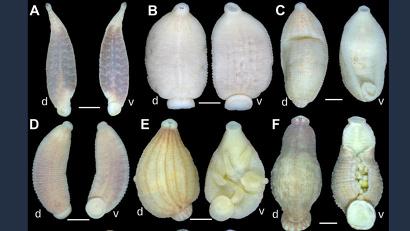 Присутствие пиявок в мантийной полости пресноводных моллюсков биологи фиксировали и ранее