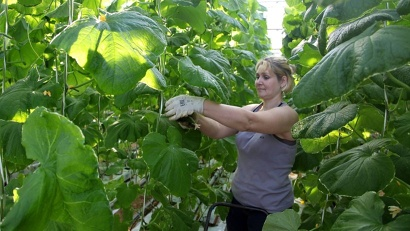 В теплицах площадью три гектара производят огурцы, томаты, салат, лук, рассаду цветочных культур