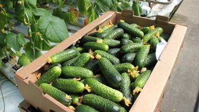 Свежий урожай огурцов скоро поступит на прилавки магазинов