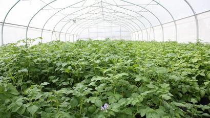 Семена для производства картофеля категории «суперэлита» выращивают в теплицах
