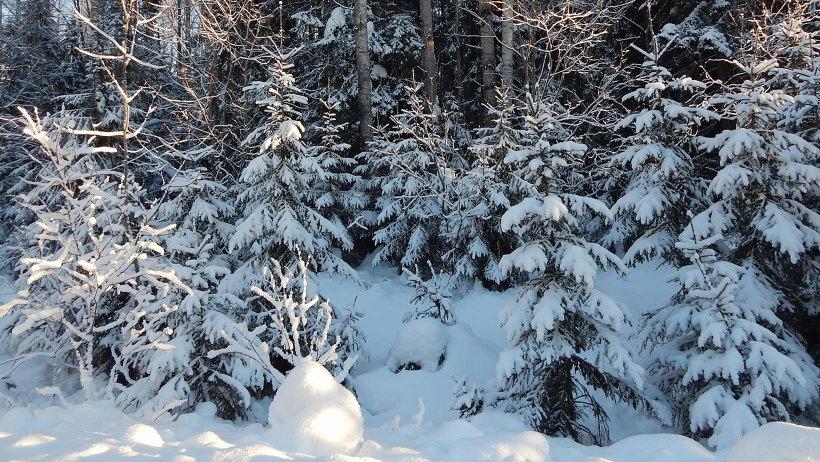 Для семейных новогодних торжеств северяне законно заготовили 22535 ёлок и сосен